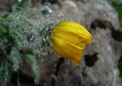 wpid959-BlumenGelb-42-von-37