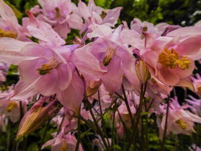 Blumen_lila-2000