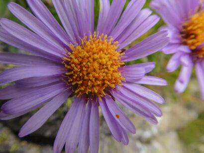 wpid1269-Blumen-lila-52-von-72