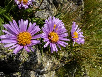 wpid1271-Blumen-lila-53-von-72