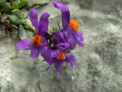 wpid1315-Blumen-lila-75-von-72