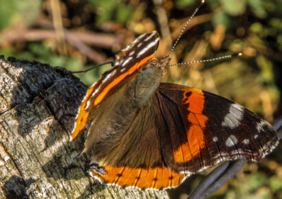 Schmetterlinge Kalender