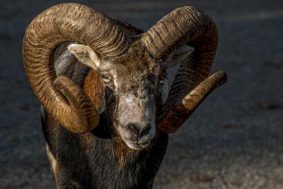Schafe, Steinböcke   & Co