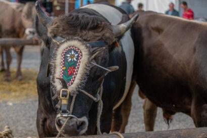 Stierenmarkt 2019-188-UHD