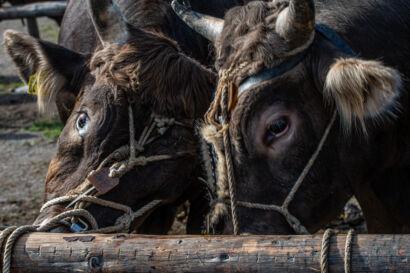 Stierenmarkt 2019