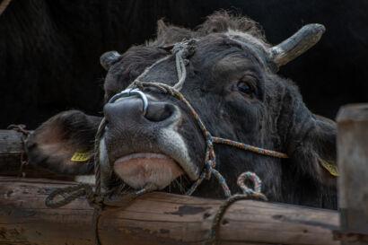 Stierenmarkt 2019-348-UHD
