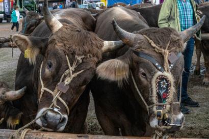 Stierenmarkt 2019-562-UHD